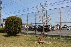 記念桜写真