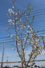 桜の花写真